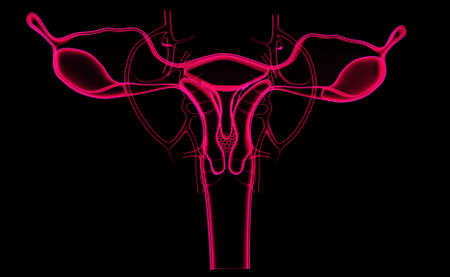 fallopian tubes: Digital illustration of female reproductive system in colour background