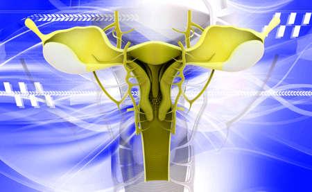 female reproductive system: Ilustraci?n digital del sistema reproductor femenino en fondo de color