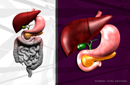 didactic: Digital illustration of human digestive system in colour background