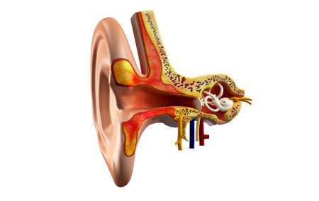 anatomie de l'oreille en arrière-plan de couleur