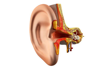 vestibular: Ear anatomy in colour background