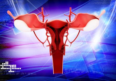 female reproductive system: Ilustraci�n digital del sistema reproductivo de la mujer en el color Foto de archivo