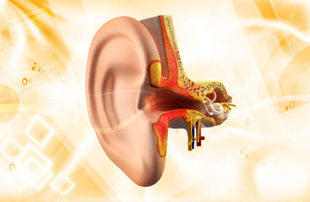tympanic: Ear anatomy