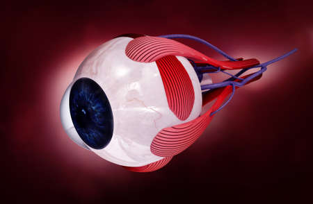 retinal: digital illustration of a human eye in white background