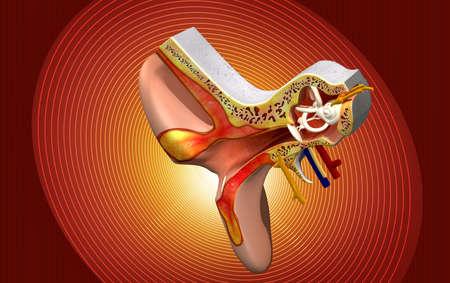 eardrum: Ear anatomy in colour  Stock Photo