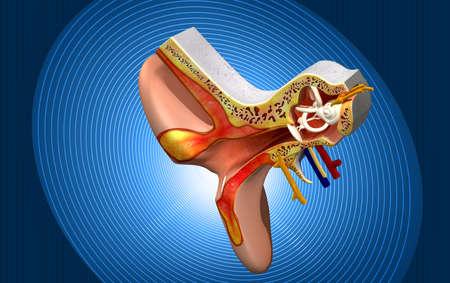 eustachian: Ear anatomy in colour  Stock Photo