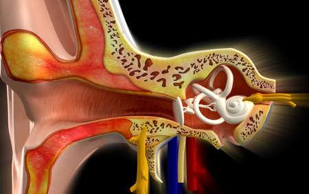 色の背景で耳の解剖学 写真素材