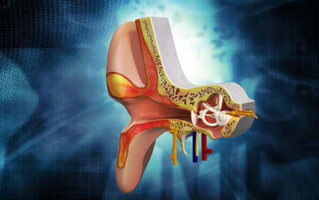 incus: Digital illustration of Ear anatomy in colour background