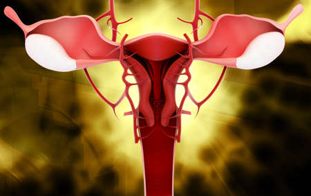 fimbriae: Digital illustration of female reproductive system in colour  Stock Photo