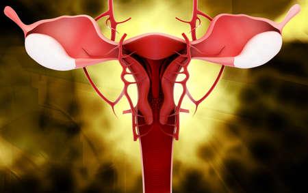 female reproductive system: Ilustraci�n digital del sistema reproductor femenino en el color
