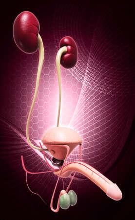 scrotum: sistema riproduttivo maschile in digitale Archivio Fotografico