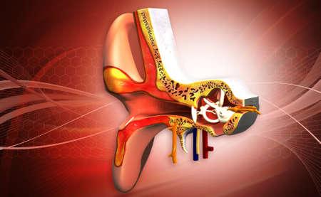vestibule: digital illustration of Ear anatomy in color