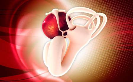 eustachian: digital illustration of Ear anatomy in colour background Stock Photo