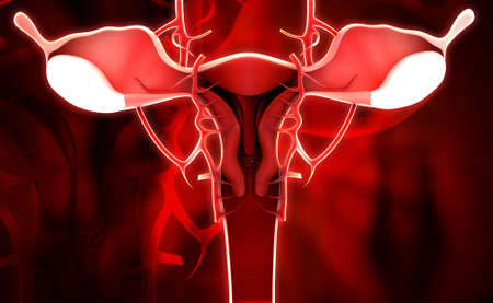 myometrium: Digital illustration of female reproductive system in colour background