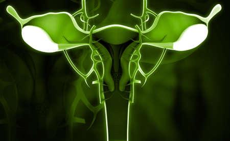 myometrium: Digital illustration of female reproductive system in colour background