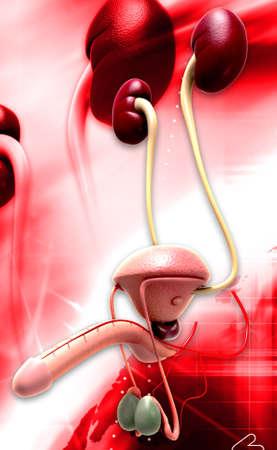 scrotum: Ilustraci�n digital del sistema reproductivo masculino en color de fondo Foto de archivo
