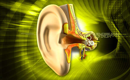 digital illustration of Ear anatomy