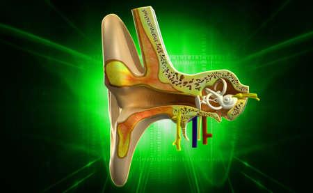 vestibule: Digital illustration of Ear anatomy in colour background