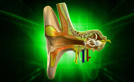 Digital illustration of Ear anatomy in colour background