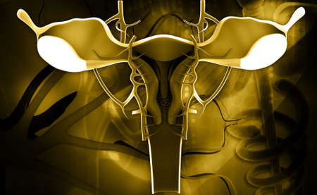 Digital illustration of female reproductive system in colour background illustration