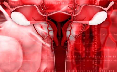 female reproductive system: Ilustraci�n digital del sistema reproductor femenino en fondo de color