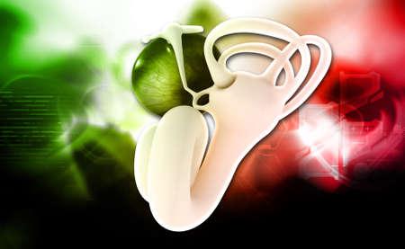 Digital illustration of Ear anatomy on colored background
