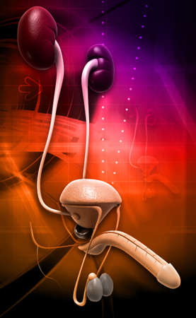 suspensory: male reproductive system in digital background