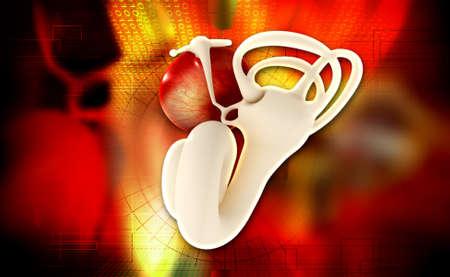 tympanic: Digital illustration of Ear anatomy on colored background