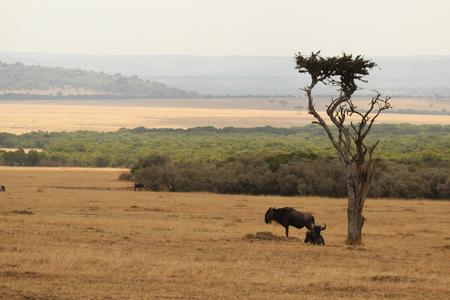 Wildebeests onder een boom Stockfoto