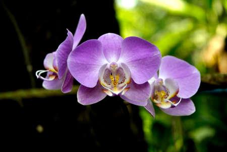 orchidea: Phalaenopsis