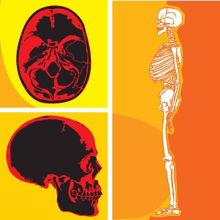 Human skeleton with skull and cerebellum Stock Photo - 9688917