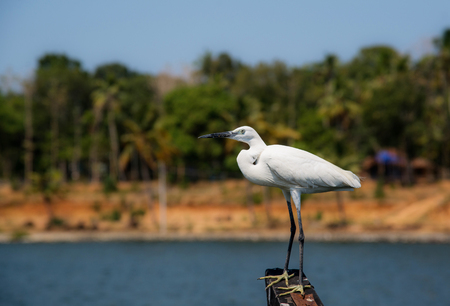 A White Egret waiting on a boat for the right moment to hunt Stock Photo