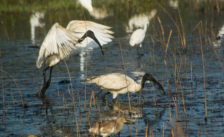 Black Headed Ibis looking for a good catch to eat