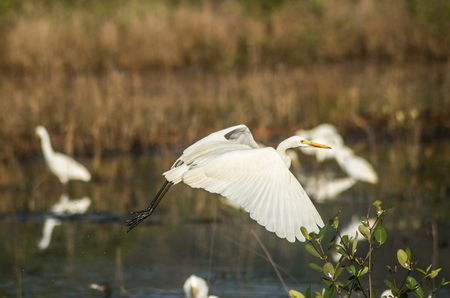 Great Egret flying around over a river for a good catch