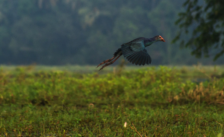 purple swamphen: Flying purple swamphen over paddy field looking for the right spot to land
