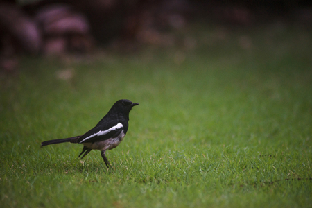 Orietnal Magpie Robin on grass