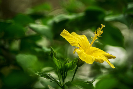 A yellow hibiscus flower in the garden