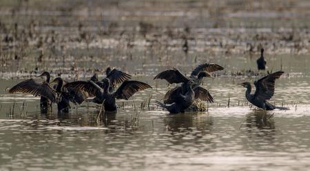 晴れた日に彼らの翼を乾燥インドできなくなった水鳥の群れ