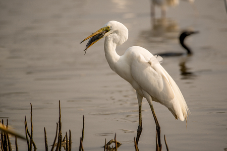 wade: A Great Egret with its catch