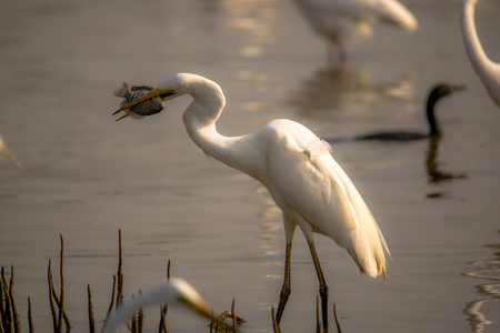 A Great egret with its catch with a beatutiful morning glow falling on the bird from the side