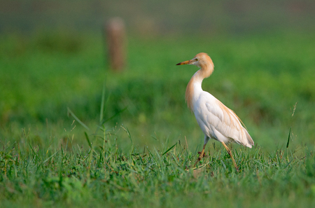 wade: A Cattle egret walking around in a field looking for food in the morning