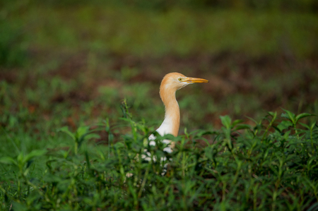 Cattle egret behind the bushes looking out in between its morning breakfast