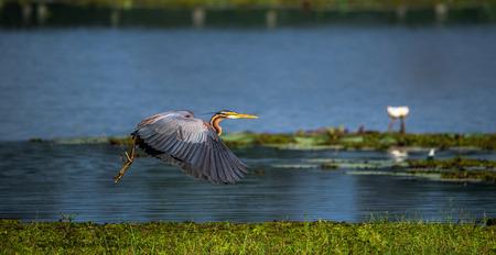 A Purple Heron just taken off from the wetlands, splashing out water Stok Fotoğraf - 80605831