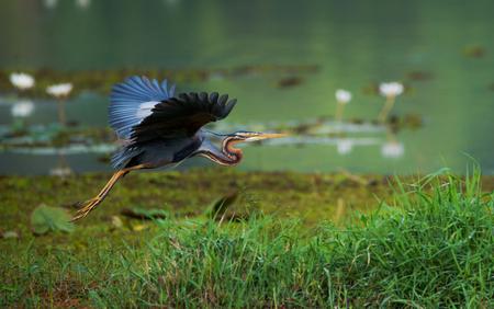A purple heron bird flying around the wetland habitat looking for food