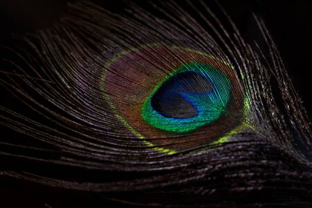 Feather of a Peafowl