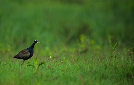 A Bronze Winged Jacana bird looking for food around its habitat Stock Photo