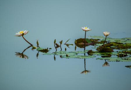 Weiße Lotusblüte im Seewasser Standard-Bild - 83563979