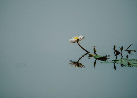 Weiße Lotusblüte im Seewasser Standard-Bild - 83563982