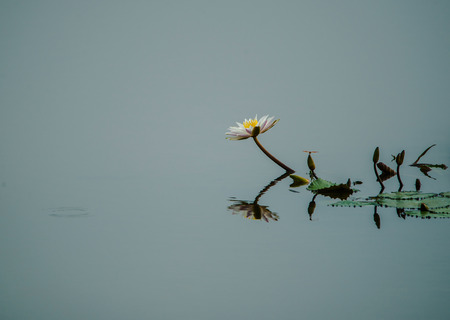 White Lotus Flower in the lake water Stock Photo