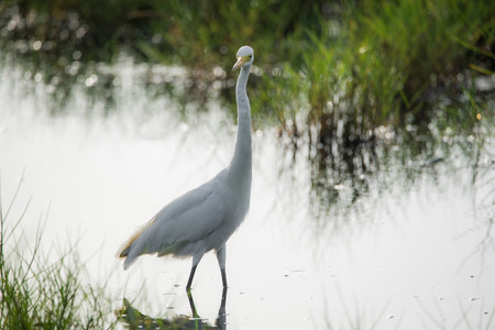 Great Egret Bird hunting in the morning